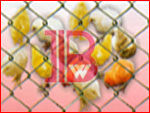 Chain Link Fencing - BW41